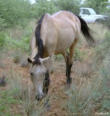 My vulletjiepresent as volgroeide merrie in die Kalahari