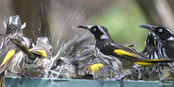 New Holland Honey-eaters frolicking undisturbed in the birdbath (Woody Island, Esperance, Western Australia)