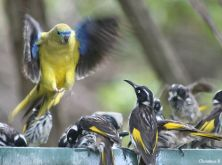 """And then a Rock Parrot moved in (I love the expression of the Honey-eater looking up at the Parrot as if to say: """"And where do you think you're going?"""")"""