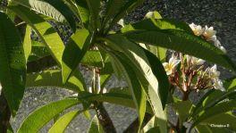 Frangipani in my garden