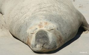 Seal sunning himself at Sorrento beach, Perth, WA