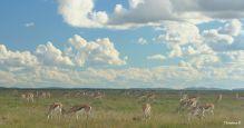 Springboks in Etosha