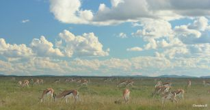 Springboks in Etosha
