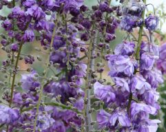 Wisteria in my garden