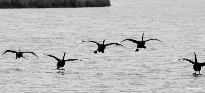 Black Swans (native to WA) coming in to land near Dongara, WA