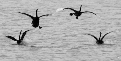 Black Swans with landing gear coming out