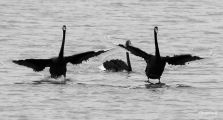 The last in my series of the Black Swans (probably my favourite series of photos of birds)