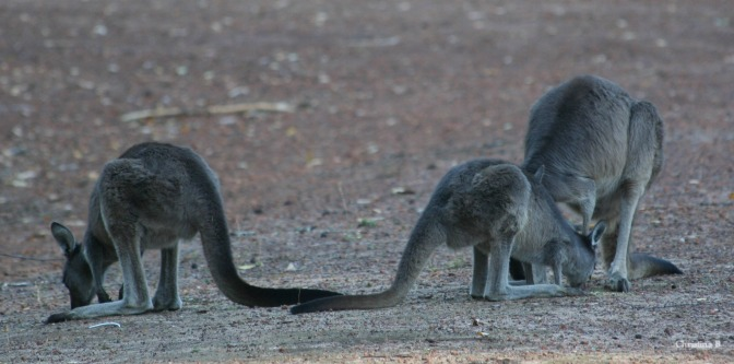 Kangaroos feeding at Donnelly River, Southwest Western Australia