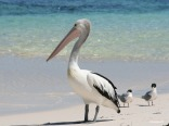 Pelican and Crested Terns at Rottnest Island, Western Australia