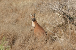 Kangaroo who was eyeing me suspiciously on my morning walk out to the boat ramp.