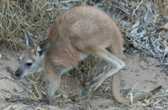 A little joey next to the boardwalk in the caravan park
