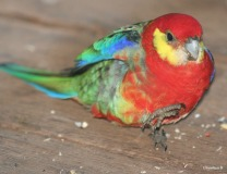 Western Rosella, taken at Donnelly River, southwest Australia