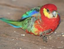 Western Rosella, taken at Donnelly River, southwest Australia