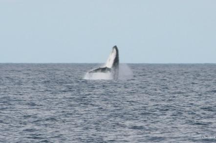Whale breaching near Perth, Western Australia