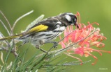New Holland Honeyeater, taken at Albany, southwest Australia