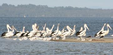 Pelikane op 'n eilandjie in die Wilson Inlet