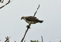 Eastern Osprey with its catch