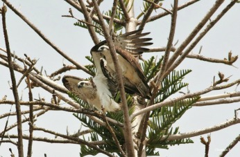 Eastern Ospreys at Rottnest Island