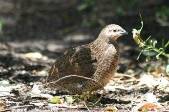 Brown Quail on Woody Island, WA