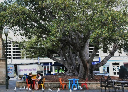 Moreton Bay fig tree in Fremantle