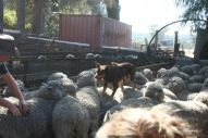 Kelpie in action mustering sheep