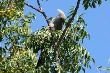 Grey Go-away bird in Namibia