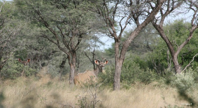 Kudu bull and cow to the left. Not a great photo because it was taken from the back of a moving vehicle but we were very happy to see them.