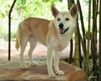 Dingo at the Broome Wildlife Sanctuary