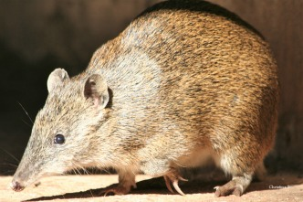 Bandicoot (small marsupial)