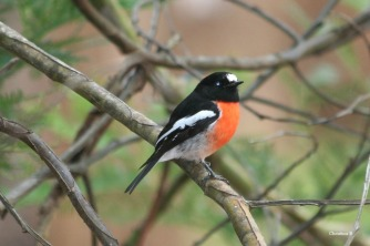 Male Scarlet Robin, Donnelly River, WA