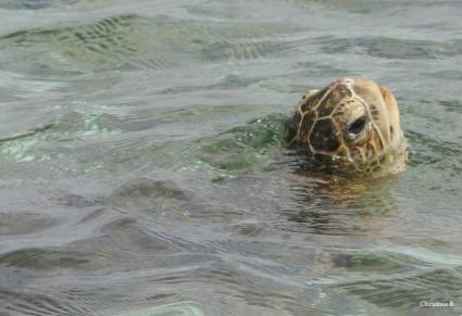 Green sea turtle at Coral Bay, Western Australia
