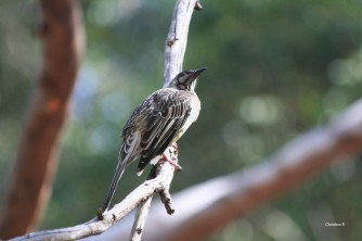 Red Wattlebird, Donnelly River, WA