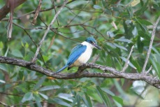 Sacred Kingfisher, Woody Island, WA