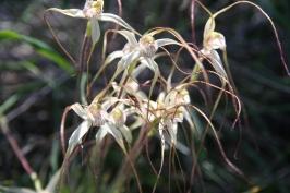 Spider Orchids