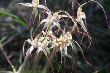 Spider Orchids
