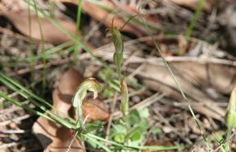 Snail Orchids