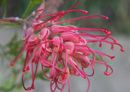Grevillea (this one was taken in my garden)