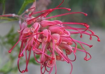 Grevillea (this one was taken in my garden)