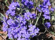 Leschenaultia