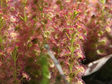 Magnificent Sundews
